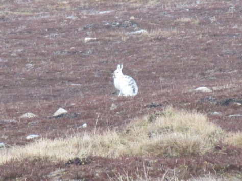 Mountain Hare on Carn Mor