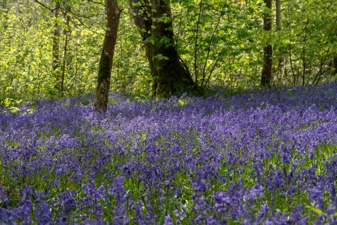 Bluebells in Bridgend Woods, Islay