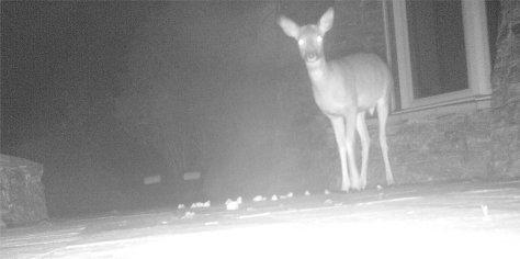 Red deer calf by night, Ullapool