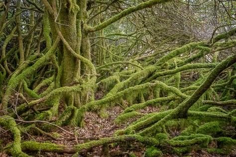 Rhododendron forest, Plockton