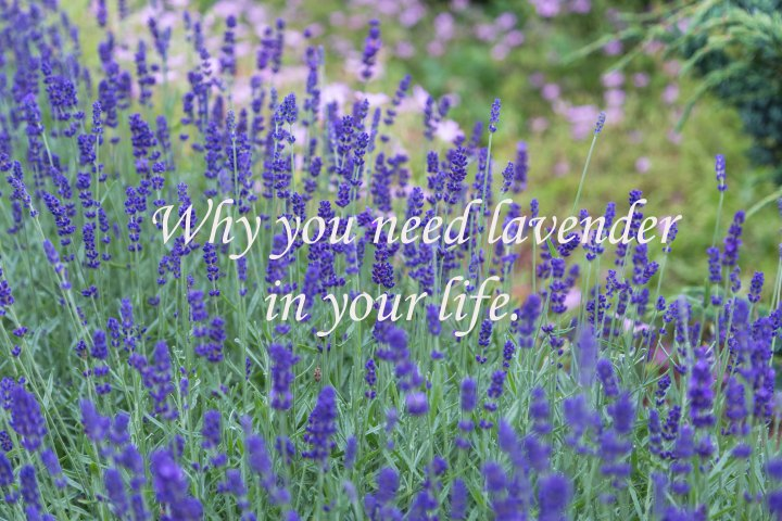 Why you need lavender in your life…