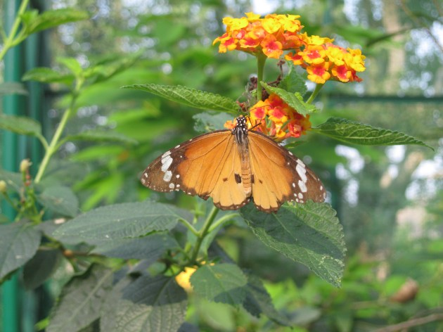 I spotted a 'male cruiser butterfly'! :-)
