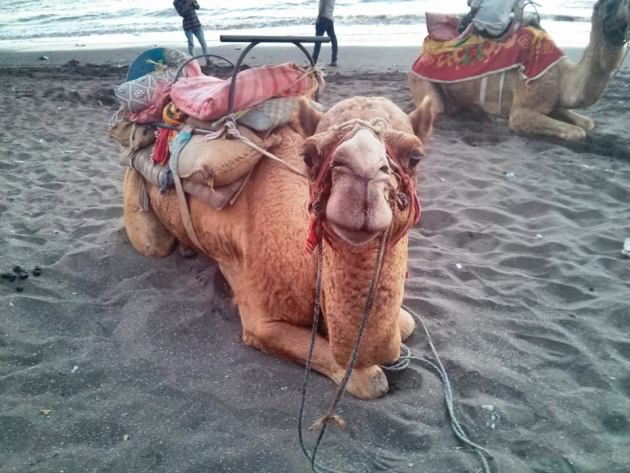 Friendly camels at Jampore Beach