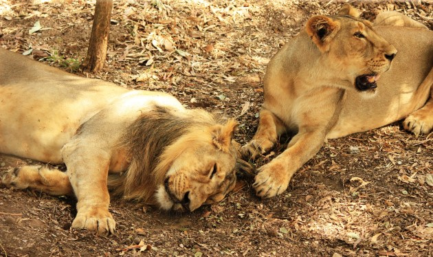 The lioness guards while the King of the Jungle sleeps