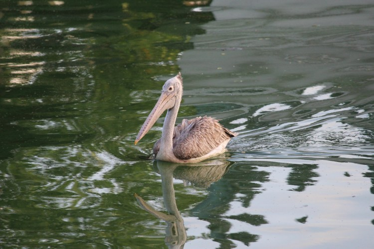 Spot Billed Pelican - exotic and endangered