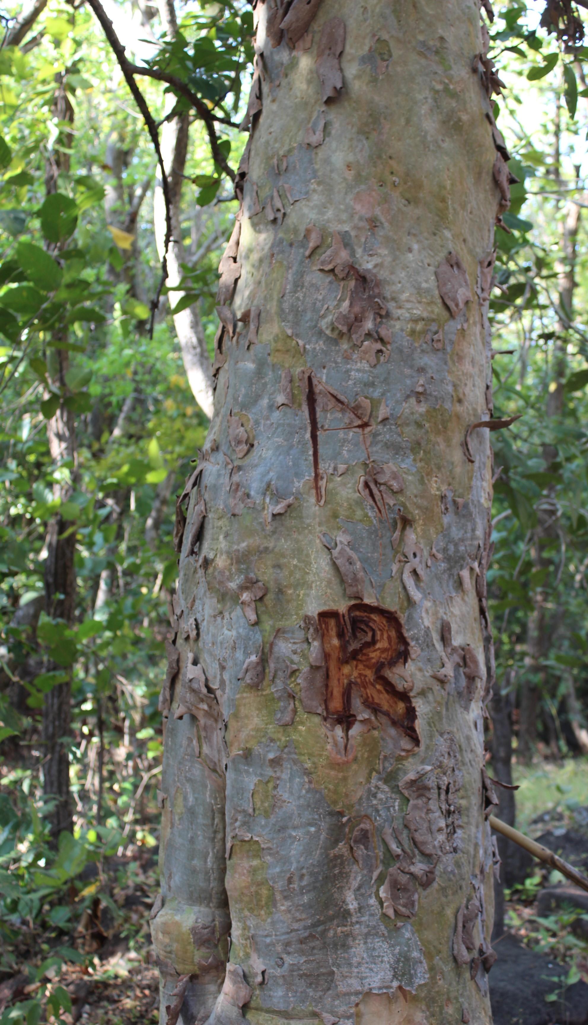 Rocky marks his tree