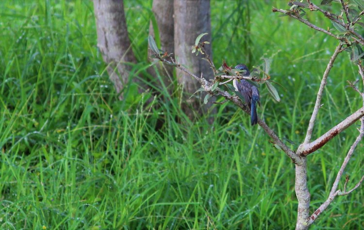 The branches make it difficult to tell whether she is a white-bellied blue flycatcher or a bushchat.