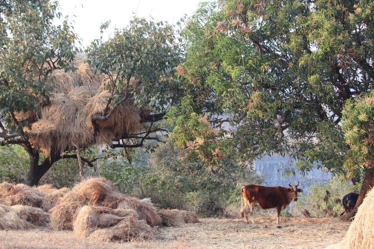 Cattle are like extended family to the villagers of Purushwadi.