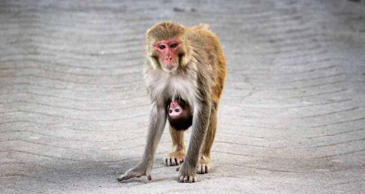 Caught this mommy macaque walking with her baby! <3
