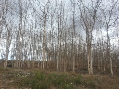 Naked trees