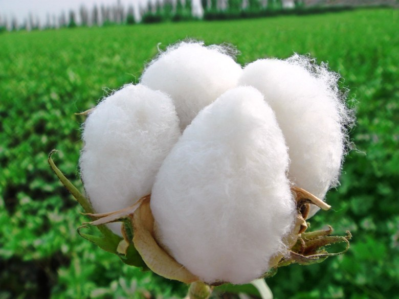Photo Description: 4 large bulbs of cotton with a backdrop of a large green cotton field supposedly in Xinjiang, China.