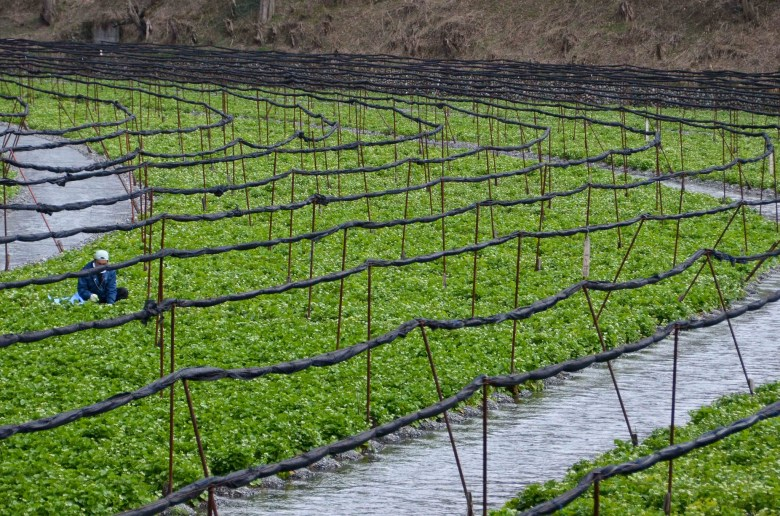 Photo Description: a large luscious green field of wasabi (root) grown in an area with flowing water. There is an individual squatted down working in the field.