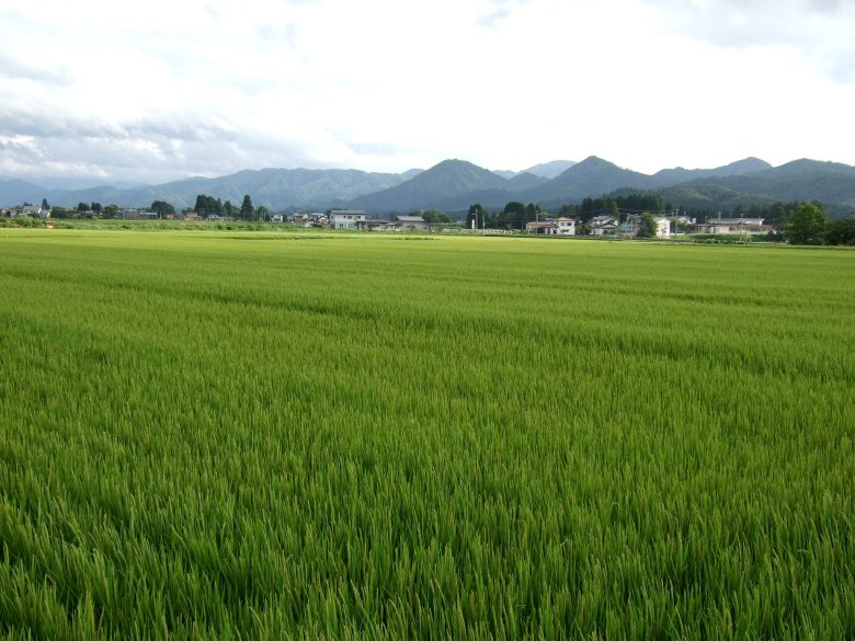 Photo Description: a large field of rice growing in a paddy. The green stalks are in the foreground with green mountains in the background with several tiny homes at the base.