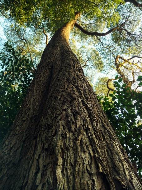 Uma das muitas e enormes árvores do Jardim   Crédito: Verônica Batista