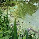 雄蛇ヶ池のアオコ現象は深刻