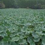 雄蛇ヶ池のリリーパッド、過去の風景