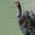 バスを喰うカワウ対策はあるか★雄蛇ヶ池は真冬の減水でカワウ食害増加がヤバイ