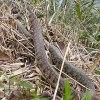 ヤマカガシより恐いのはマムシ。マダニとイノシシにも注意★雄蛇ヶ池でのオカッパリ注意事項