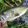 雄蛇ヶ池6/24満水のシャローカバー撃ってバックスライドで2本