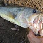 雄蛇ヶ池6/13パニックシケイダーで50UP含む5本、前回より約30cm増水