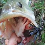 雄蛇ヶ池6/27キッケルキッカーで50cm、49cmの2本。水位上昇、水質はさらに悪化