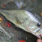 雄蛇ヶ池9/1ジグで47cm、レベルバイブでコバス2本。水位マイナス50cm、水質悪い