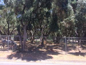 This old olive tree orchard is located on the east side of Gridley Road. It is located north of Grand Avenue.