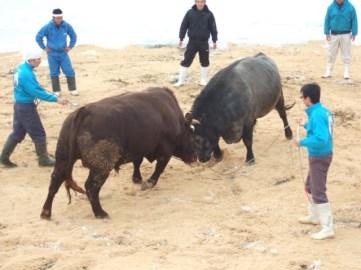 日本で唯一の雪中闘牛!