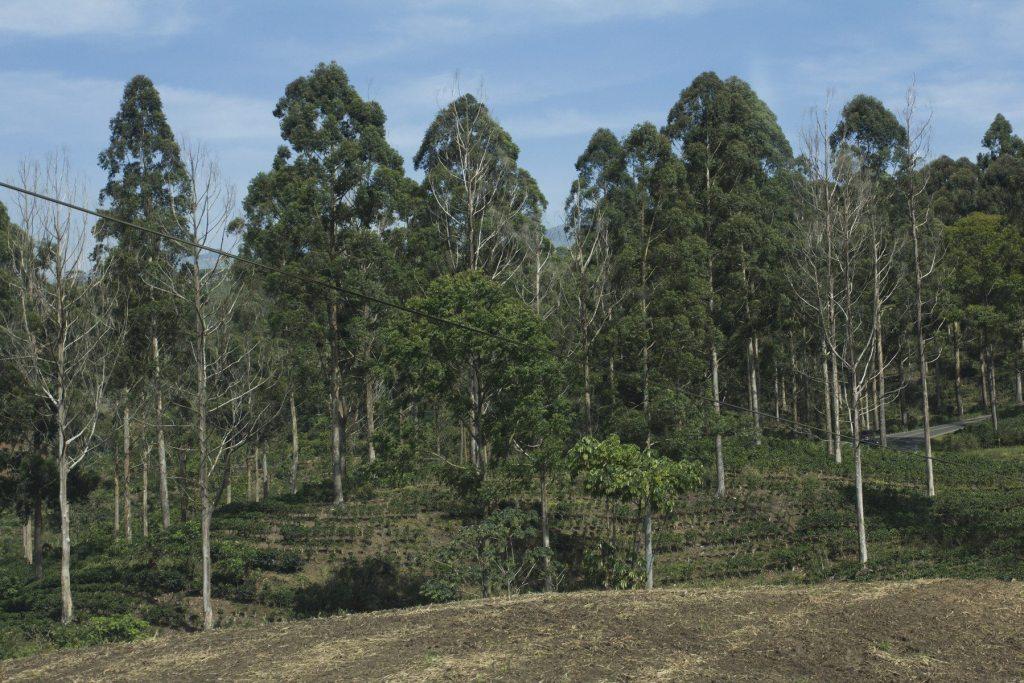 Durante décadas, los cafetales costarricenses han incorporado árboles para mejorar su rendimiento.