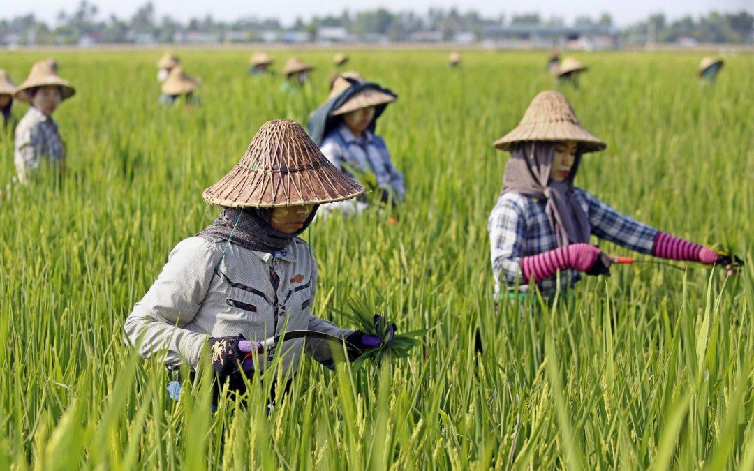 El aumento de emisiones de CO2 hará menos nutritivo el arroz, dice estudio