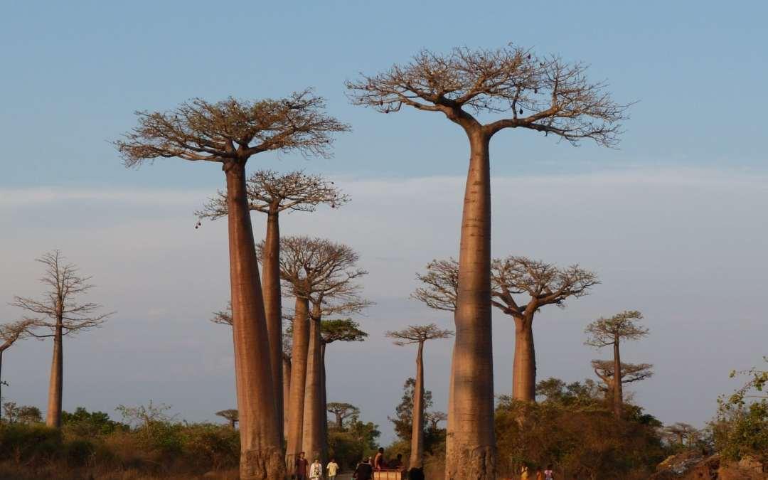 Alarma por la muerte de los baobabs más viejos de África