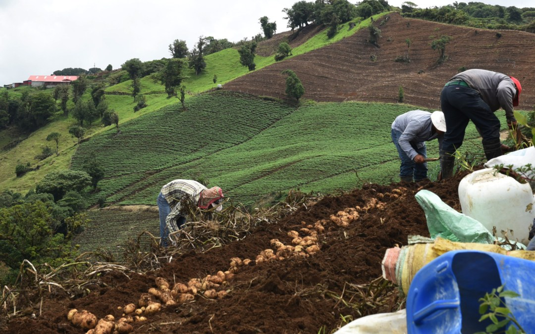 Una de cada cuatro hectáreas cultivada con papa está en riesgo