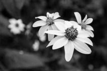Belleza floral en blanco y negro (Fam. Compositae), Huasteca Potosina.