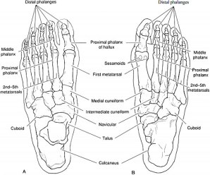 Normal Foot Anatomy