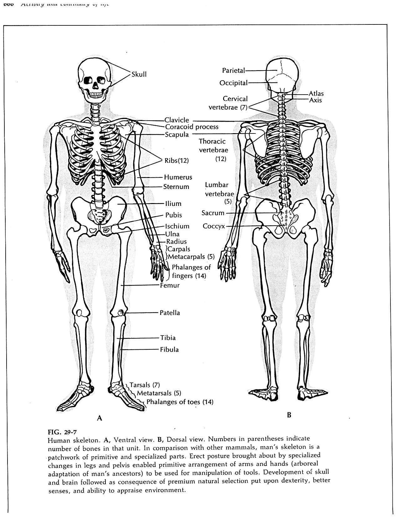 Skeleton Major Bones