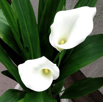 カラー 花言葉 由来 育て方 小林麻美