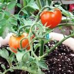 ベランダ栽培 おくら オクラ ししとう 天使のミニトマト-2