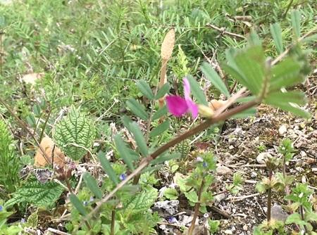 さくら たんぽぽ つくし カラスノエンドウ ヤハズエンドウ 春 野原 花