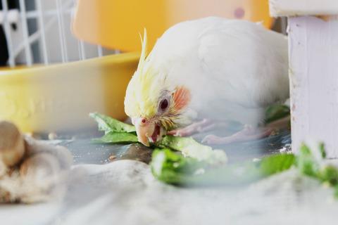 小松菜を食べるオカメインコ