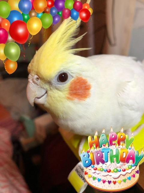 オカメインコ誕生日