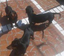 quero-adotar-salsichinha-salsicha-raca-dachshund-sao-paulo-sp