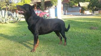 cachorro-caes-rottweiler-fotos-imagens
