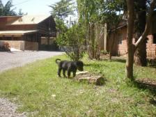cachorro-filhote-rottweiler-doacao-doacoes