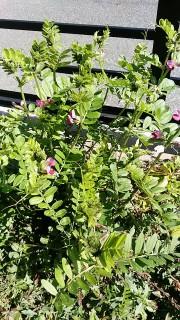 カラス豌豆