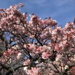 桜のお花見デートの穴場は富士山も見える離島!日帰りプランのすすめ