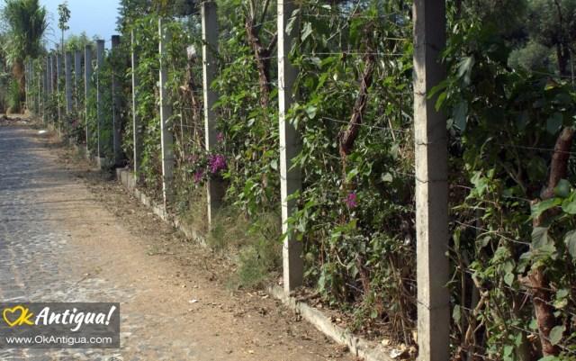 Chichicaste hedgerow