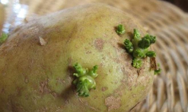 Можно ли есть картошку которая позеленела. Можно ли кушать позеленевший картофель