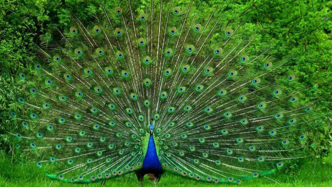 Resultado de imagen de pavo real