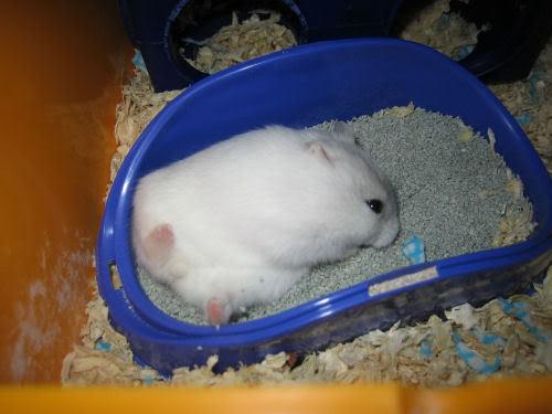 hamster mandi 1