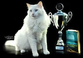 Ras kucing Aphrodite